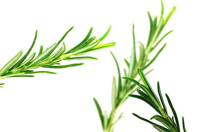 use aromatherapy oil rosemary to study better - cheaptextbooks.com